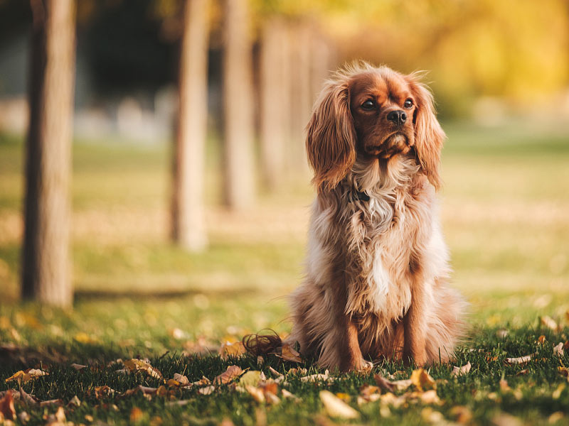 chipning af hund