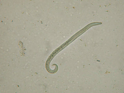 Fransk hjerteorm, Angiostrongylus vasorum