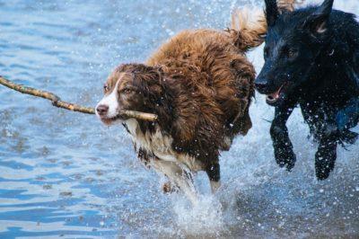 hunde leger i vand med pind