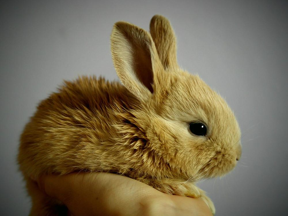 kanin unge