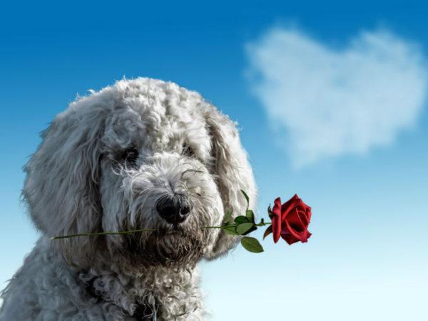hund med rose