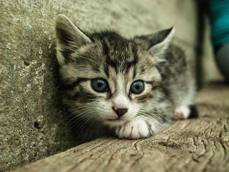 mærkning af katte