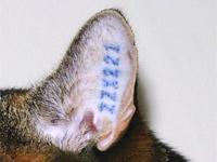 Øretatovering i kattens øre. Første bogstav er en årskode, bogstav 2+3 er klinikkens kode, og de tre tal er et løbenr.