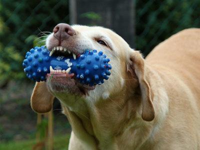 hund med tygge legetøj