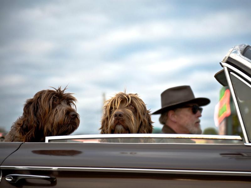 hund i bilen