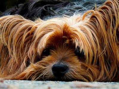 træt hund