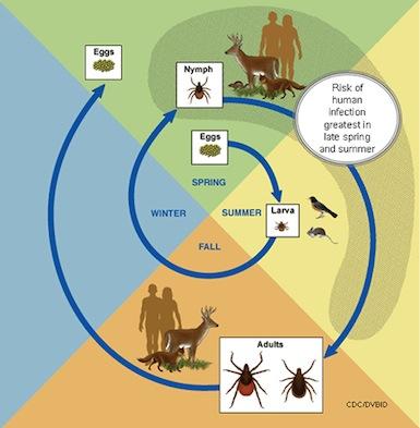 Ixodes ricinus livscyklus - lånt hos KU bio