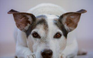 Hunde med anaplasma, bliver trætte, får ofte høj feber