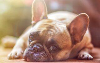 Fransk Bulldog Brachycephal hund
