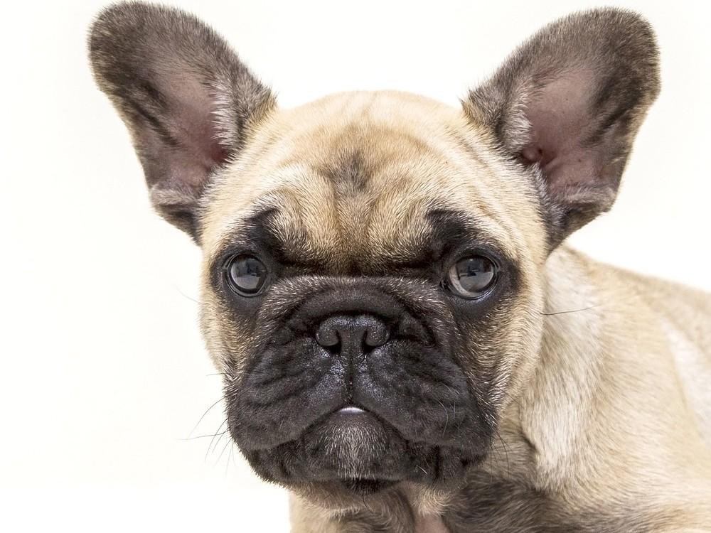 Fransk bulldog Brachycephal